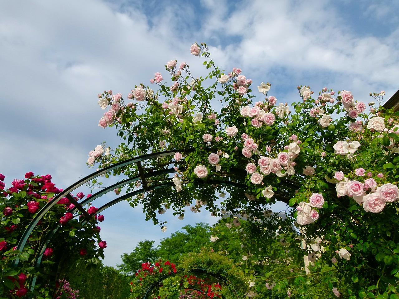 шпалерные розы фото стремительно набирает